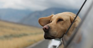 A golden lab sticks its head out the window of a car as it drives down the highway.